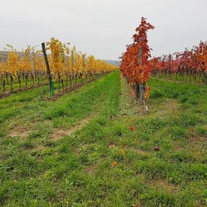 Weißburgunder aus der Pfalz