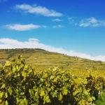 welche Weine aus der Pfalz