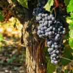 2 Gründe warum Rotwein gesund ist