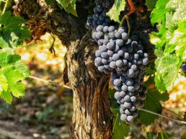 Mallorca Weingut Son Prim
