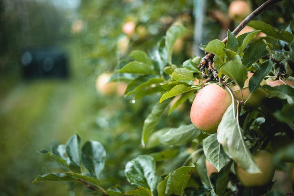 Vinschgau Äpfel